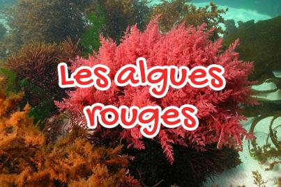 L'algue rouge